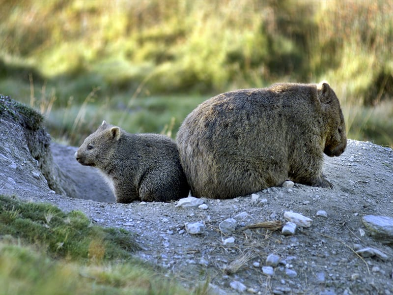 Two Wombats