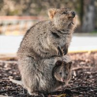 Quokka with joey in their pouch